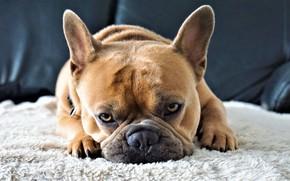 Picture look, Dog, bulldog, French bulldog, kravat, 4k, 8k