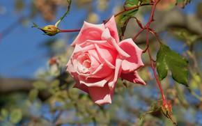 Picture flower, leaves, light, pink, rose, branch, garden, stem, Bud, bokeh