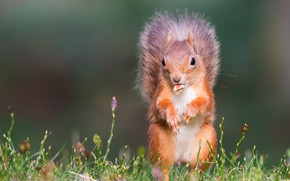 Picture summer, grass, look, pose, legs, walnut, protein, muzzle, red, green background, stand, squirrel