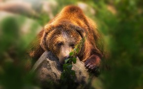Picture face, pose, green, background, portrait, bear, lies, brown