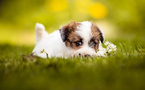 Picture summer, grass, look, face, yellow, pose, background, glade, portrait, eyes, dog, baby, puppy, lies, flowers, …