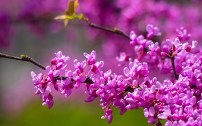 Picture branches, flowering, flowers, Barannik canadian