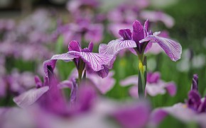 Picture flowers, glade, garden, pink, flowerbed, irises, lilac, bokeh, blurred background