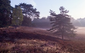Picture forest, trees, fog, morning, hill, pine