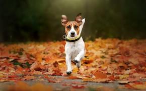 Picture autumn, dog, walk, fallen leaves, Jack Russell Terrier, Ekaterina Kikot