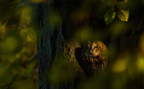 Picture autumn, look, leaves, light, the dark background, tree, owl, bird, trunk, bokeh, the hollow
