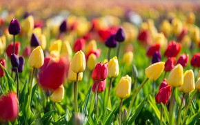 Picture tulips, buds, colorful, a lot