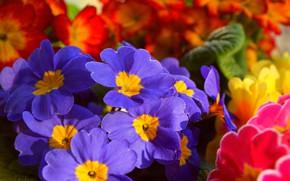 Picture Flowers, Flowers, Colors, Primula, Blue flowers