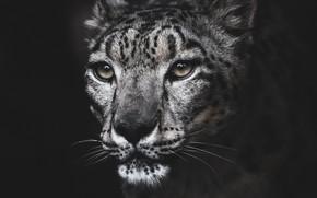 Picture portrait, IRBIS, snow leopard