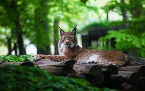 Picture greens, summer, look, face, pose, green, background, foliage, paws, logs, beauty, lies, lynx, wild cat, ...