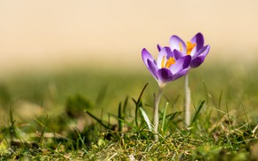 Picture grass, flowers, background, glade, spring, crocuses, a couple, two, lilac, two flowers