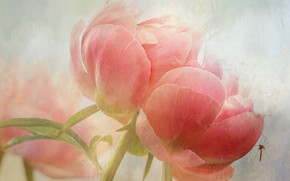 Picture flowers, the mosquito, pink, peonies