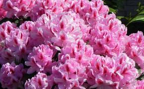 Picture pink, Bush, rhododendron, Azalea