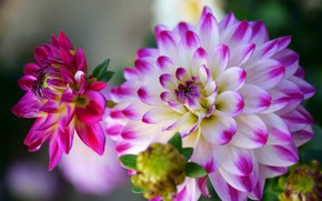 Picture flower, leaves, macro, background, petals, garden, buds, Dahlia, two-tone, bright, dahlias, pink and white, Dahlia