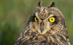Picture look, background, owl, bird, Short-eared owl
