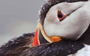 Picture drops, background, bird, portrait, feathers, Atlantic puffin, Fratercula arctica, puffin, Stalled