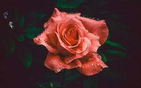 Picture Rose, Flower, Petals, Flower, Colors, Flora, Blooming, Bloom, Flora, Close-Up, Abhishek Gaurav, by Abhishek Gaurav, …