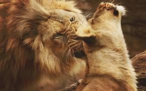 Picture love, predators, Leo, wild cats, lions, lioness