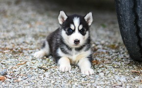 Picture look, pose, background, dog, wheel, baby, puppy, lies, face, husky, bus, Siberian husky
