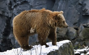 Picture snow, rock, bear