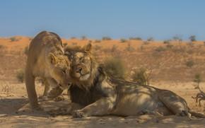 Picture love, Leo, wild cats, lions, a couple, lioness