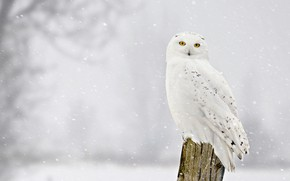 Picture winter, look, snow, bird, stump, snowfall, snowy owl
