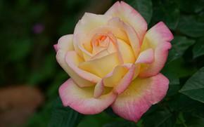 Picture macro, close-up, rose, petals