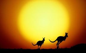 Picture silhouette, Australia, kangaroo