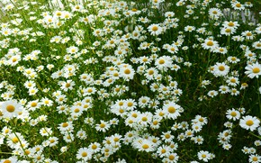 Picture summer, flowers, chamomile, meadow, white, a lot, chamomile field