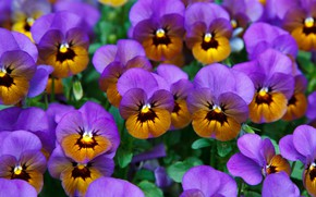 Picture flowers, bright, blur, orange, Pansy, flowerbed, a lot, lilac, violet, two-tone, viola