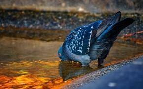 Picture bird, dove, drink