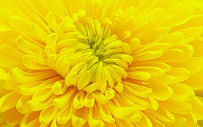Picture flower, yellow, chrysanthemum