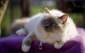 Picture cat, purple, cat, look, pose, blanket, muzzle, fabric, lies, fur, bokeh, ragdoll