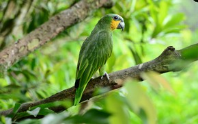 Picture greens, branch, parrot