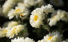 Picture flowers, background, petals, white, asters