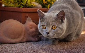 Picture cat, look, muzzle, British Shorthair