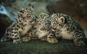 Picture kittens, kids, trio, leopards, cubs, Trinity