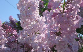 Picture flowers, lilac, spring 2018, Meduzanol ©