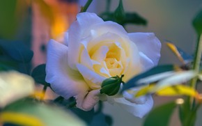 Picture leaves, rose, white, bokeh