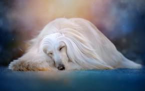 Picture animal, sleep, dog, dog, bokeh, Svetlana Pisareva