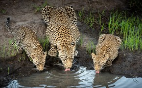 Picture nature, drink, cheetahs