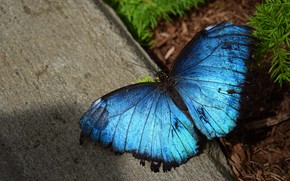 Picture macro, butterfly, concrete, blue, morpho