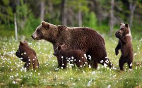 Picture forest, summer, grass, nature, bears, walk, kids, bears, mom, cubs, bear, brown, three bear, cotton