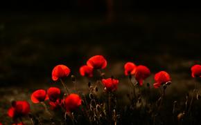 Picture flowers, nature, Maki