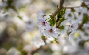 Picture flowers, branches, background, spring, white, Apple, flowering, bokeh, in bloom