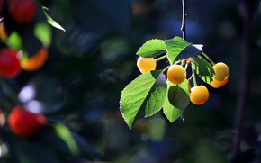 Picture leaves, cherry, berries