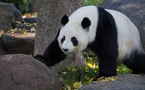 Picture autumn, look, face, leaves, nature, pose, stones, tree, bear, Panda, walk, zoo
