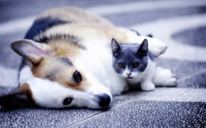 Picture dog, kitty, friends, Welsh Corgi, Munchkin