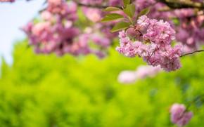 Picture nature, cherry, branch, spring, Sakura