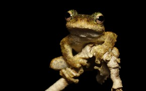 Picture look, face, macro, pose, frog, legs, branch, black background, bitches